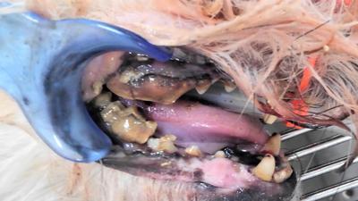 右眼窩下腫脹→歯肉からの炎症にて、抜歯したワンちゃんの例